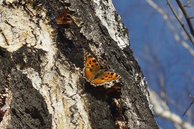 Нимфа многоцветная бабочка весна береза лес