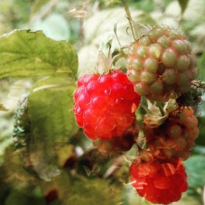 Спелая малина Малина природа в лесу лето ягоды