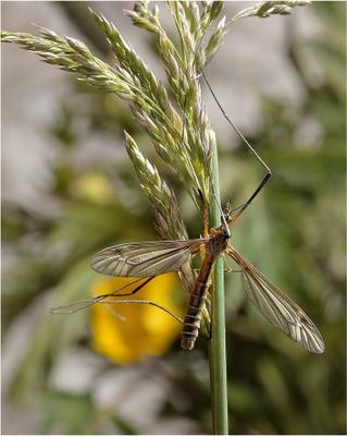 Комар-долгоножка (лат. Tipulidae)