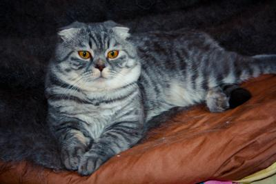 Картина - кот Картина Кот коты животные серый кот домашний