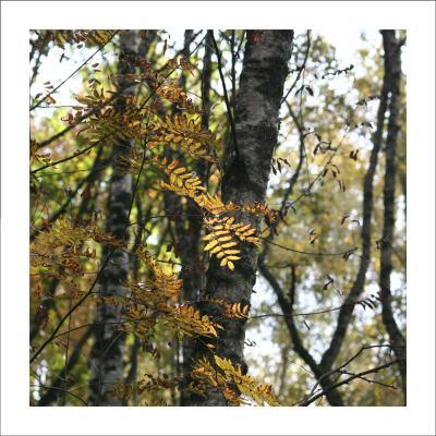 Рябиновая осень берез осень солнце тепло