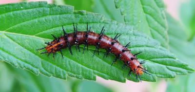 Гусеница гусеница насекомое насекомые caterpillar insect