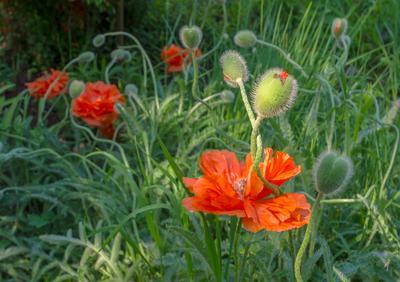 Переплетение судеб... июнь маки цветы
