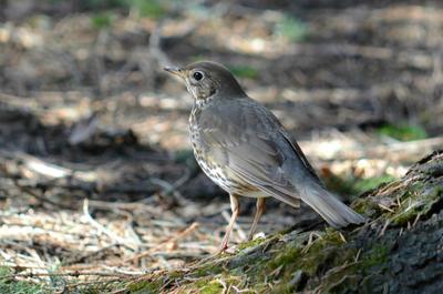 Певчий дрозд птица дрозд