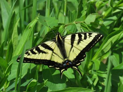 Western tiger swallowtail бабочка насекомое western tiger swallowtail papilio rutulus butterfly insect