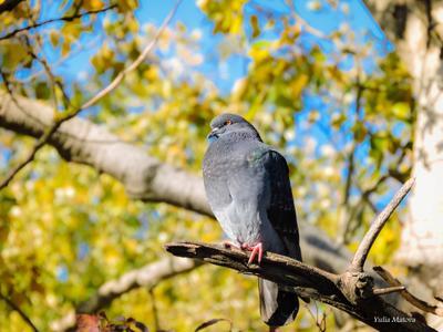 наблюдает) голубь дерево листва