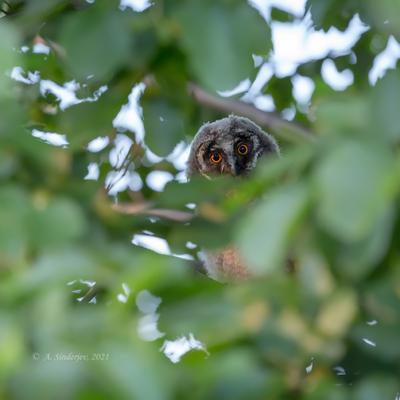 Глаза совы сова птенец глаза природа