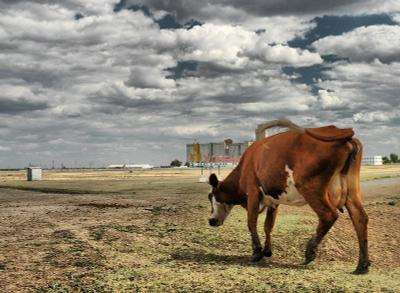 Вестерн корова