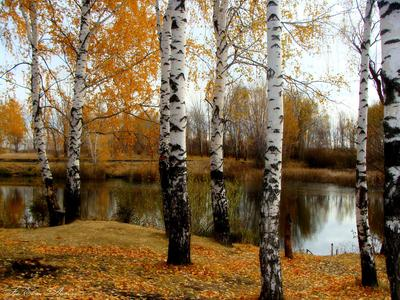 Русские берёзки осень природа пруд берёза
