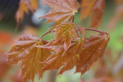 *** Природа листья клен