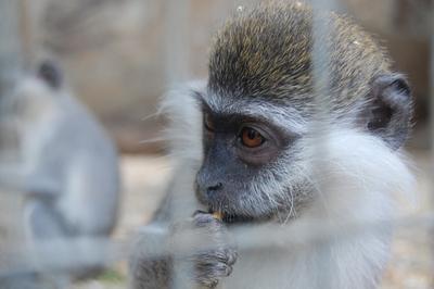 *** Макака макаки Ялта зоопарк
