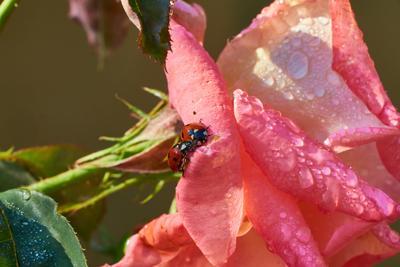 Жучки божьей коровки на лепестке розы божья коровка жуки насекомые роза цветы макро