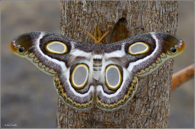 Глазастая бабочка павлиноглазка mythimnia глазастая