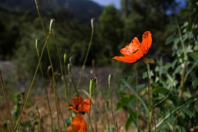 Маки Вардзии маки цветы природа