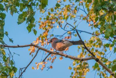 Сойка. сфдп большойгодроссии птица лес деревья фотоохота