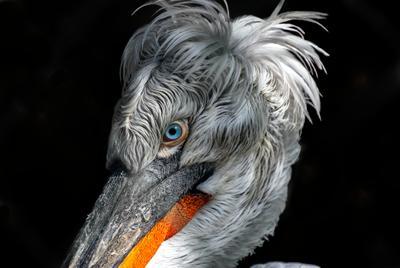 Кудрявый пеликан птица пеликан зоо