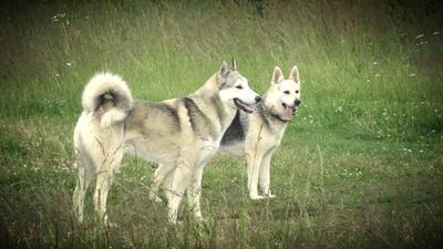 *** собака.лето.поле.животные.трава