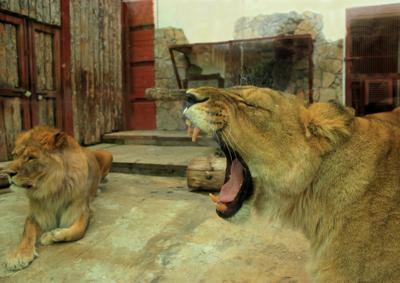 В зоопарке Екатеринбурга.. звери львы