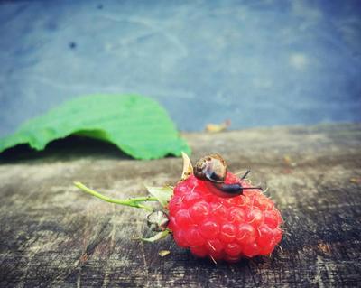 Все любят ягоды 2. малина улитка