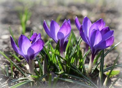 Нежные первоцветы март крокусы весна