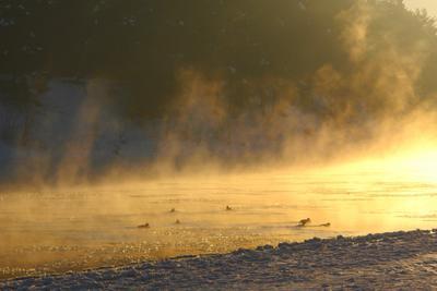 Золотые утки река солнце небо утки птицы туман