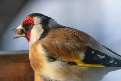 Щегол с семечкой в клюве. птица дикая природа животное ветвь дикий красный черный дерево зеленый птичий красочный лес крыло красивый цвет перо коричневый