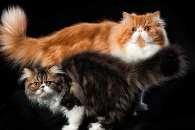 Персы кот кошки персидский