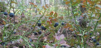 Черника Черника ягоды лес