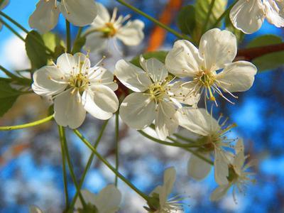 ***Цветущая вишня Moscow весна цветы вишня