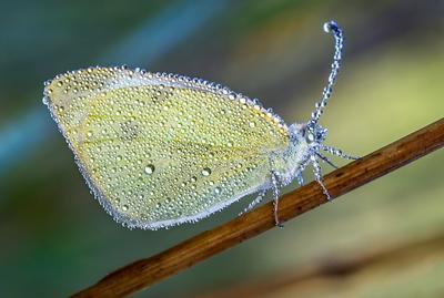 Желтушка поутру... бабочка белянка желтушка утро роса капли лето август