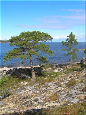 Белое море море пейзаж берег сосны