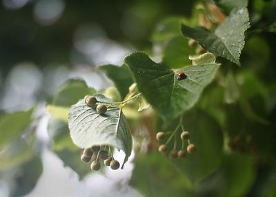 Липа. липа листья