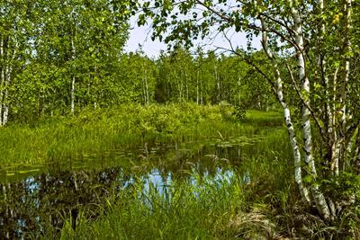 Сибирская глушь берёзы берег озеро лето листва зелень