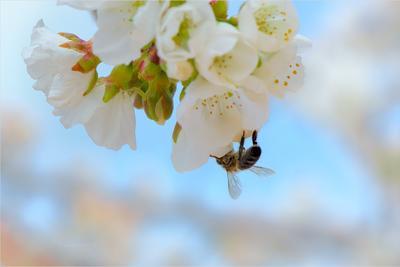 Притяжение весна вишня небо цветы сад пчела