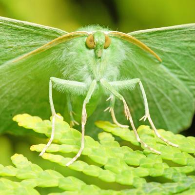Пяденица парусниковая (Пяденица большая зеленая) Geometra papilionaria