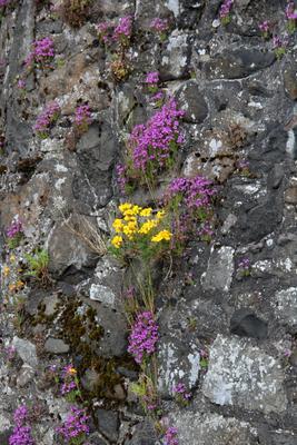 Цветок на камне цветок камень скала шотландия