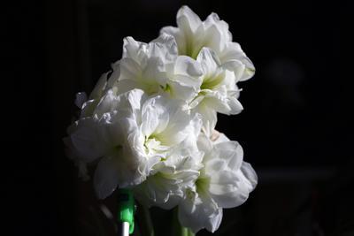 Буйство какое-то. )) Amaryllis цветы