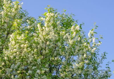 Время цветения весна май черёмуха