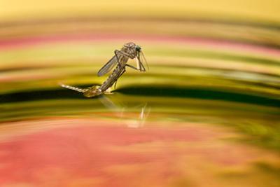 Рождение комара Комар куколка рождение макро