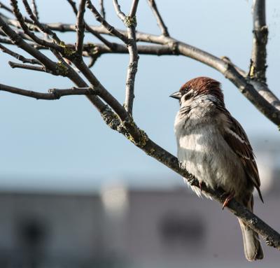 Орель!:) И даже пень, в весенний день... Воробей птицы в городе