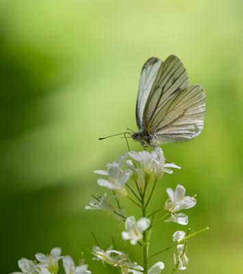 Просто белянка бабочка белянка