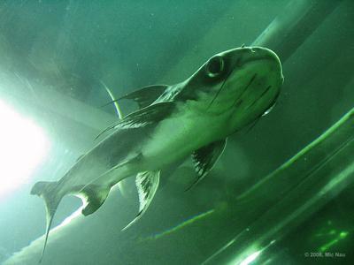 ры-ыба Рыба, акулий сом