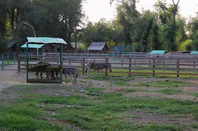 *** зебра хоопорк зверь природа