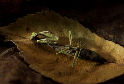 весной родятся её дети, а сейчас осень и жизнь закончилась... богомол насекомое хищник труп осень листья