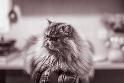 Betty thinking Cat Persian Gedera