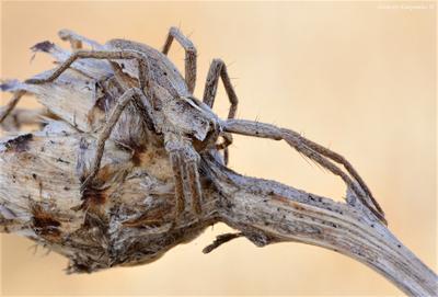 *** wildlife паук пизаура-удивительная макро