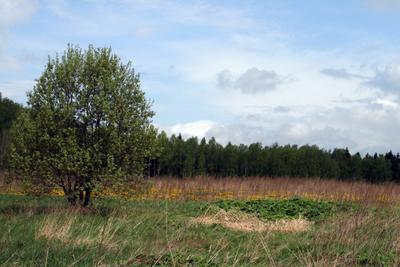 Деревце весна, дерево, лес, май, небо, облака, одуванчики, пейзаж, подмосковье, поле, природа, трава, цветы,