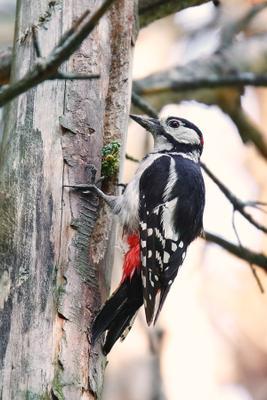 Большой пестрый дятел птицы