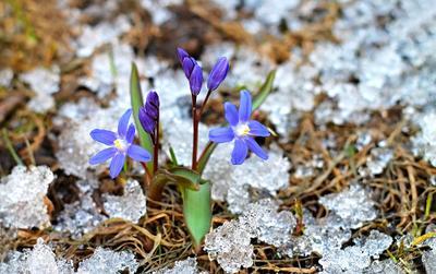 Первенцы весны  пролеска