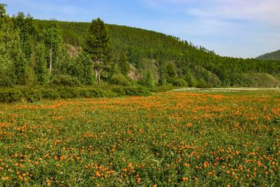 Июнь, пора цветения жарков. Жарки июнь долина
